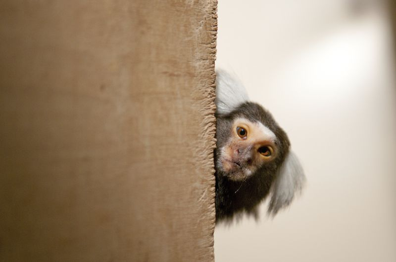 Fluffy experimental model for inner ear implants: Common marmosets. Photo: A. Säckl. Source: Deutsches Primatenzentrum en: common marmosets in their enclosure at the DPZ