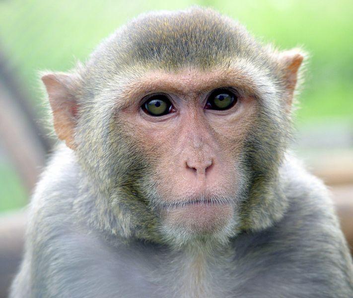 Rhesusaffen sind keine Kuscheltiere. Foto: K. Fahrner, Quelle: Deutsches Primatenzentrum