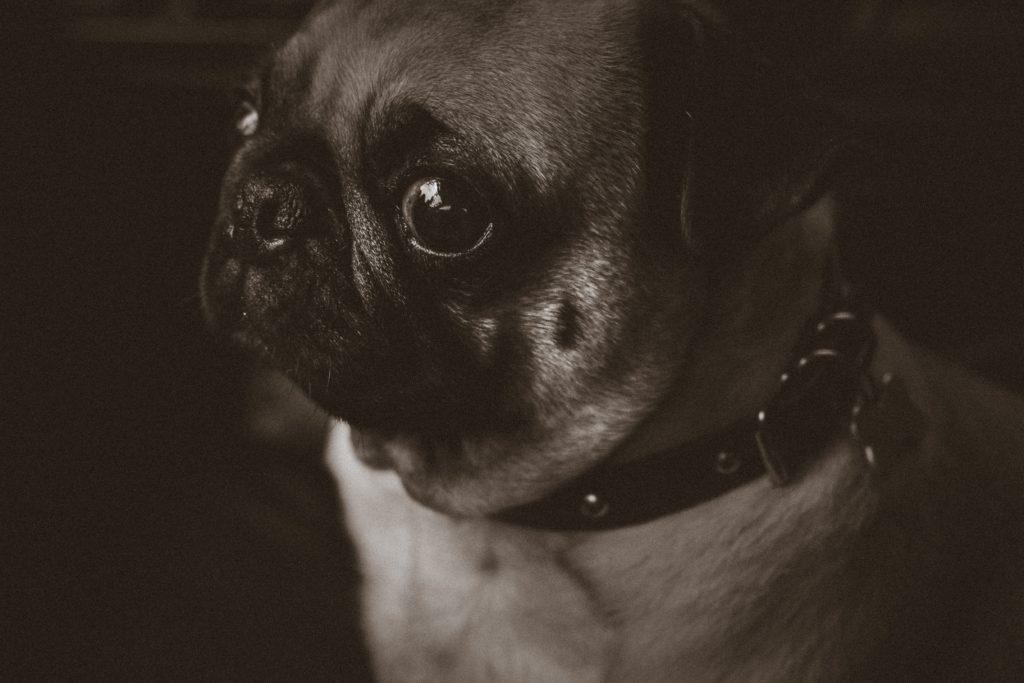 Mops im schwarz-weiß, schaut verdächtig.